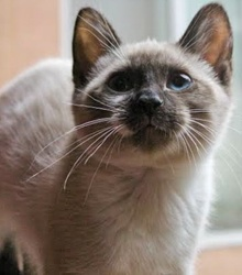 [another picture of Pear, a Siamese seal point\ cat]