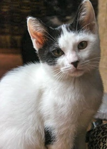 [another picture of Tinsel, a Domestic Short Hair white/black\ cat]