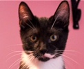 A picture of #ET01566: Partrige a Domestic Short Hair black/white tuxedo