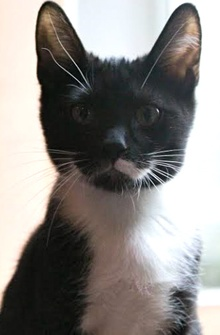 [picture of Partrige, a Domestic Short Hair black/white tuxedo cat]