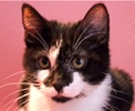 A picture of #ET01567: Jingle a Domestic Short Hair black/white face