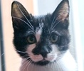[picture of Jingle, a Domestic Short Hair black/white face cat]