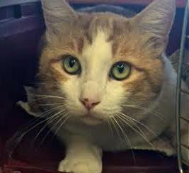 [picture of B.O.G (big Orange Guy), a Domestic Short Hair white/orange cat]