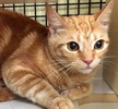 A picture of #ET01572: Ginger a Domestic Short Hair swirl orange
