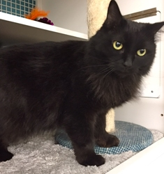 [picture of Lenoir, a Domestic Long Hair black cat]