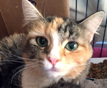 [picture of Kayti, a Domestic Medium Hair calico\ cat]