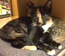 [another picture of Torti, a Domestic Medium Hair calico\ cat]