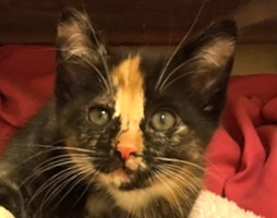 [picture of Torti, a Domestic Medium Hair calico\ cat]