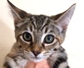 A picture of #ET01581: Tabitha a Domestic Short Hair gray tabby