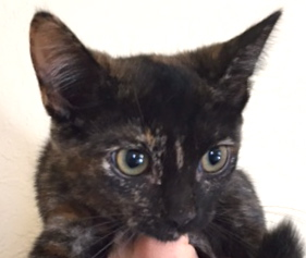 [picture of Mila, a Domestic Short Hair tortie\ cat]