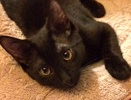 A picture of #ET01585: Poki a Domestic Short Hair black
