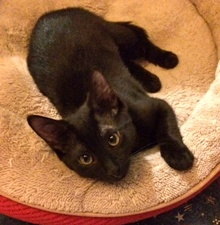 [another picture of Poki, a Domestic Short Hair black\ cat]