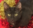A picture of #ET01586: Lucy a Domestic Short Hair black