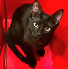 [another picture of Lucy, a Domestic Short Hair black\ cat]