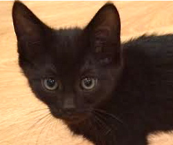 [picture of Lucy, a Domestic Short Hair black\ cat]