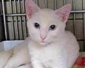 A picture of #ET01588: Shiro a Domestic Short Hair white w/blue eyes