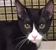 A picture of #ET01592: Bow a Domestic Short Hair b/w tuxedo