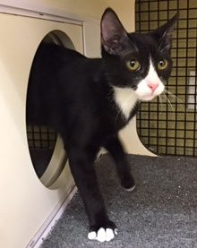 [another picture of Bow, a Domestic Short Hair b/w tuxedo\ cat]