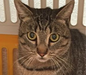 [picture of AJ, a Domestic Short Hair gray tiger tabby\ cat]