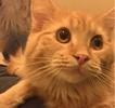 A picture of #ET01596: Mango a Domestic Long Hair orange