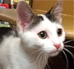 A picture of #ET01598: Bali a Domestic Short Hair white/brown tabby