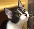 A picture of #ET01599: Dolli a Domestic Short Hair black/white