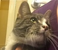 A picture of #ET01601: Reveille a Domestic Short Hair charcol tigger/white