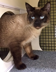 [picture of Curry, a Siamese seal point cat]