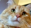 A picture of #ET01604: Thor a Domestic Long Hair orange