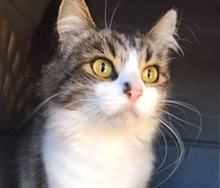 A picture of #ET01605: Fizzy a Ragdoll Mix black tabby/white