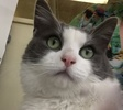 A picture of #ET01607: Nickelby a Domestic Medium Hair blue/white