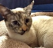 [picture of Mino, a Siamese tortie point cat]