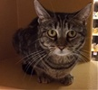 A picture of #ET01622: Cortlyn a Domestic Short Hair brown tabby