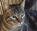 A picture of #ET01623: Striper a Domestic Short Hair black swirl tabby