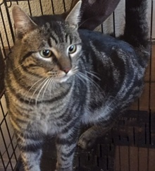[another picture of Striper, a Domestic Short Hair black swirl tabby\ cat]