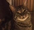 [picture of Striper, a Domestic Short Hair black swirl tabby cat]
