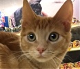 A picture of #ET01624: Erik a Domestic Short Hair orange tabby