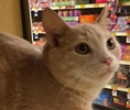 A picture of #ET01625: Ambrose a Domestic Short Hair cream tabby