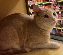 [another picture of Ambrose, a Domestic Short Hair cream tabby\ cat]