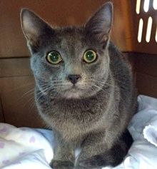 [another picture of Jerry, a Russian Blue blue\ cat]