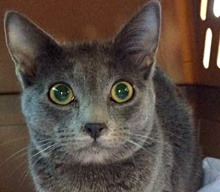 [picture of Jerry, a Russian Blue blue\ cat]