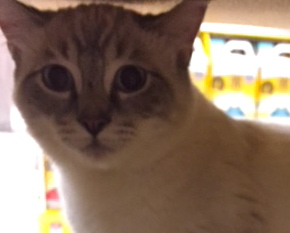 [picture of Adam, a Siamese lynx point\ cat]