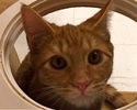 A picture of #ET01628: Blake a Domestic Short Hair orange