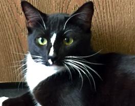 [picture of Bonbon, a Domestic Short Hair black/white\ cat]