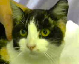 [picture of Lalique, a Domestic Short Hair calico\ cat]