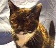 [picture of Gwen, a Domestic Short Hair tortico cat]