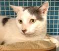 A picture of #ET01635: Hercules a Domestic Short Hair white/blue
