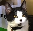 A picture of #ET01636: Jude a Domestic Short Hair black/white white face