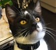 A picture of #ET01637: Jordy a Domestic Short Hair black/white black face