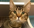 A picture of #ET01638: Rico Suave a Abyssinian Mix brown tick tabby